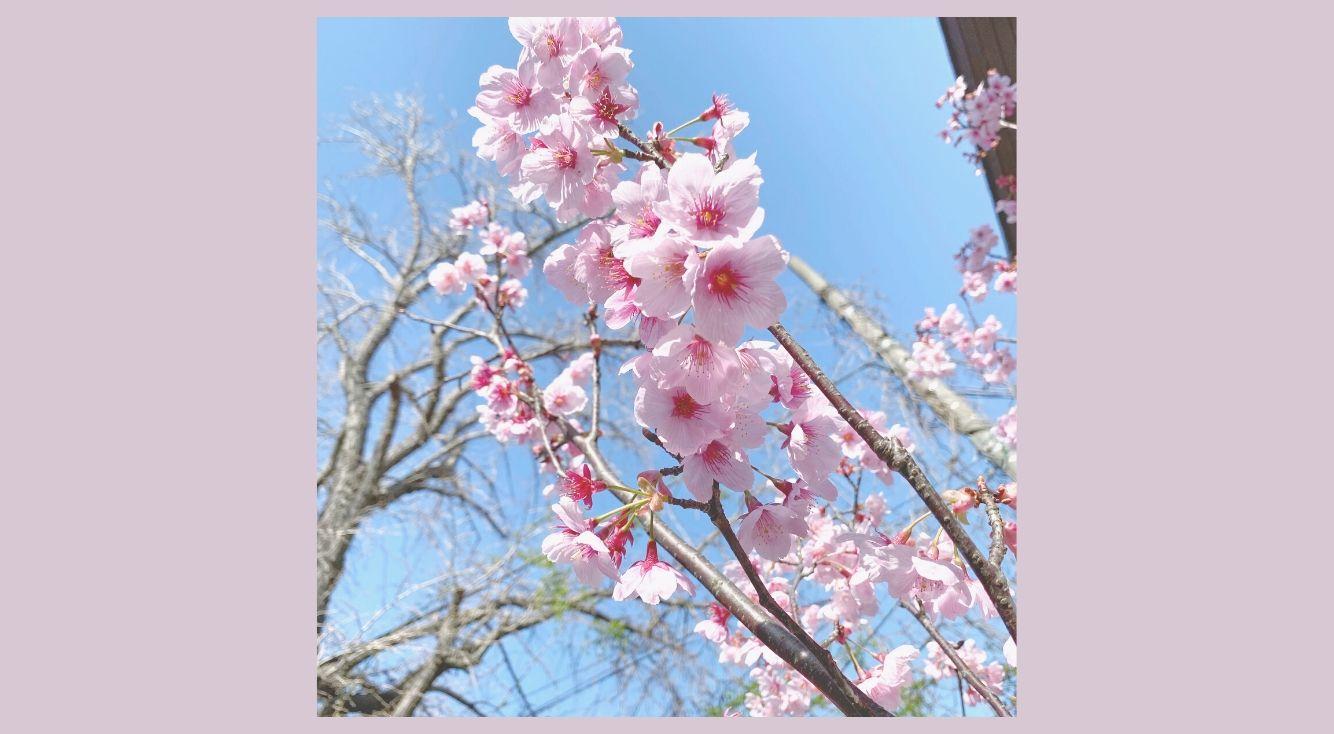 Twitterで桜ハッシュタグを付けると限定絵文字が!みんなで「#エア花見」しよう♡