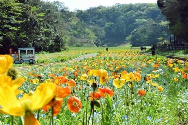 横須賀市「くりはま花の国」のポピーの花畑