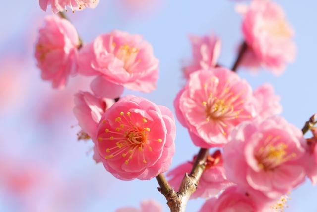 デレステ梅の花トロフィー