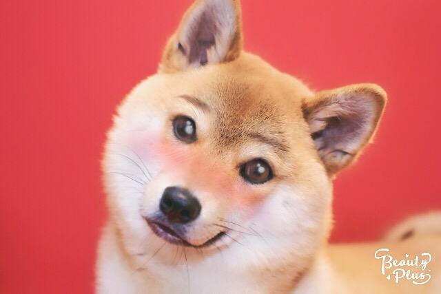 BeautyPlus二次元カメラかわいい犬爆笑おしろ