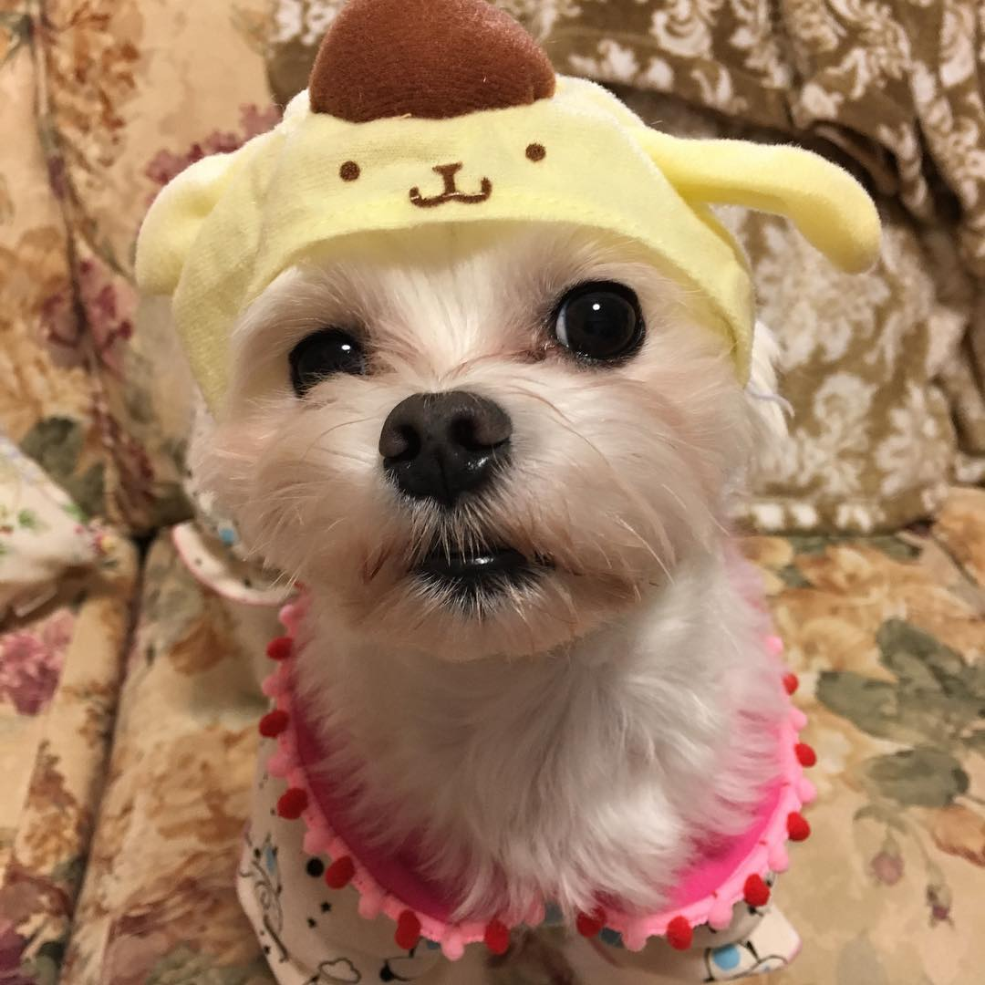 ポムポムプリンを被っている桃花の愛犬メリ