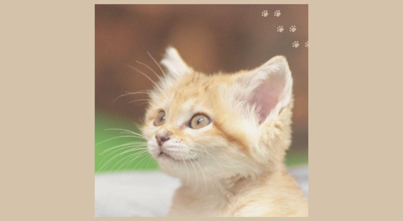 TV・SNSで話題!悶絶級にかわいいスナネコ赤ちゃんの成長が1冊に!『砂漠の天使 スナネコ』写真集、ブーム到来中!
