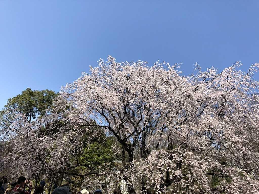 tokyo-hanami-spot