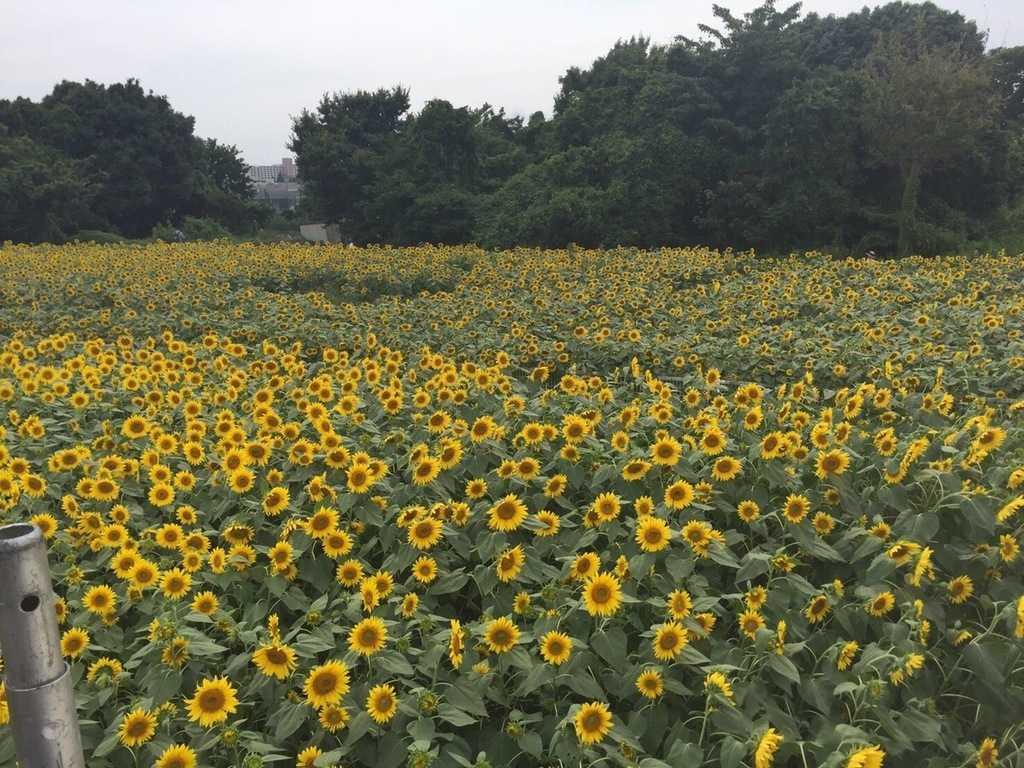 photogenic-sunflower