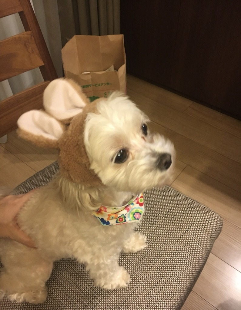 うさ耳を被っている、ぴぴの愛犬シフォン