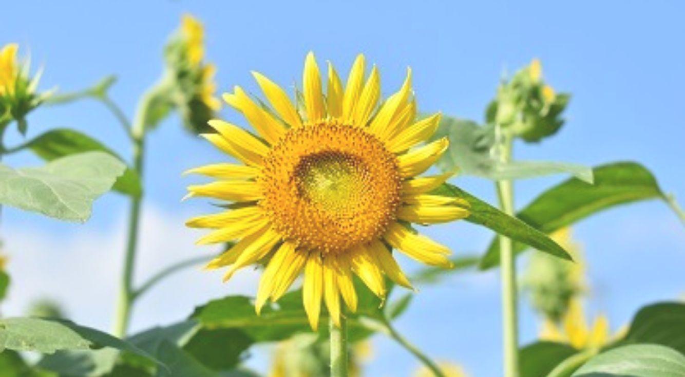 夏に行きたい!成田ゆめ牧場のひまわり畑で「ひまわり迷路」開催中☆