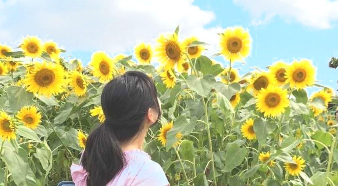 夏のフォトジェニックイベント・ひまわり畑で写真を撮ってインスタ映えを狙え【座間ひまわりまつり】